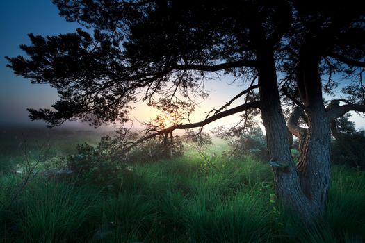 sunrise over marsh through pine tree