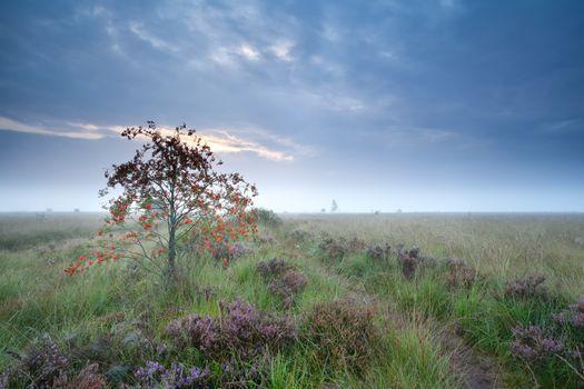 rowan tree on marsh with heather