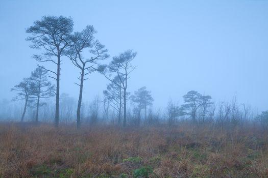 pine trees on marsh in fog