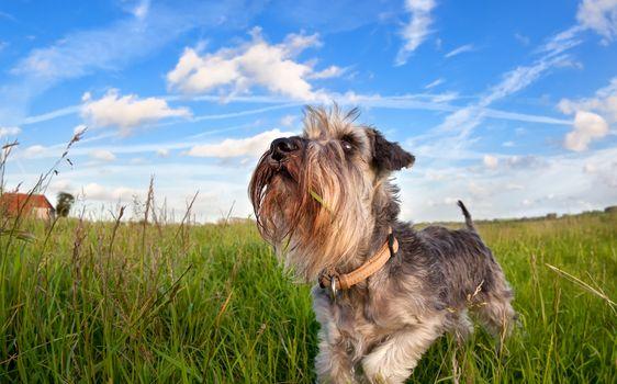 cute miniature schnauzer on green grass over blue sky