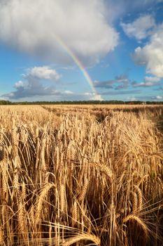 rainbow on blue sky over wheat field
