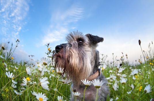 cute miniature schnauzer dog with flowers