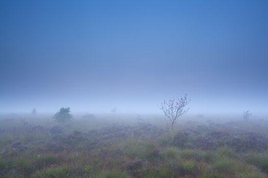 rowan tree and heather on marsh in dense fog