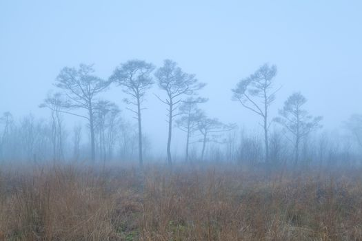 coniferous forest on swamp in fog