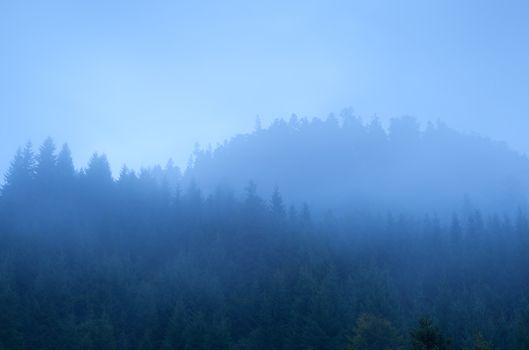 coniferous forest in dense fog