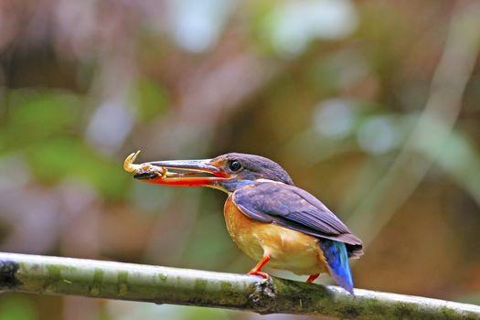 Female Blue-banded Kingfisher