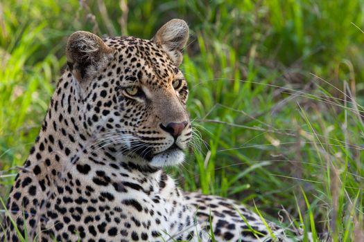 leopard in National Park in Tanzania