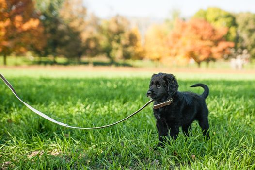 Young retriever puppy on a leash
