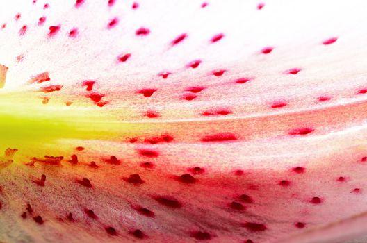 lily petal abstract