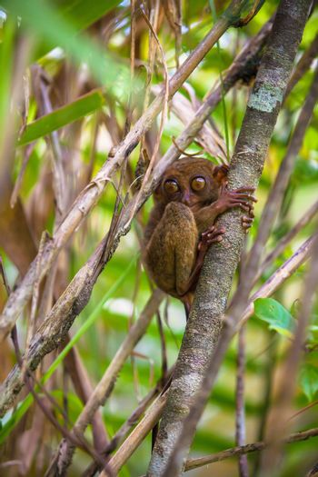 Small funny tarsier on the tree in natural environment at Bohol island, Philippines