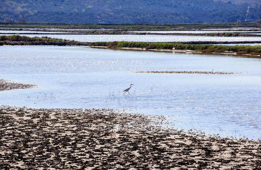 Heron in the Salt evaporation ponds in Secovlje