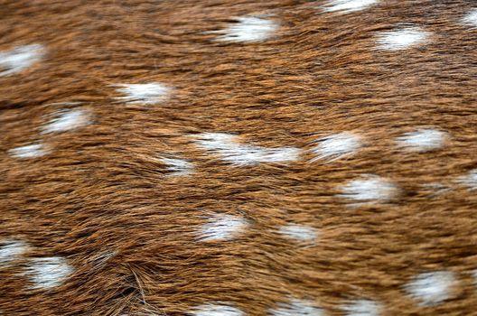 Spotted deer skin