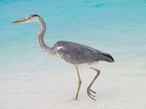 Heron walking in water of bay of sea