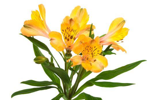 Beautiful orange alstroemeria