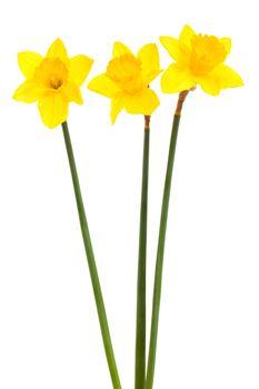 three yellow narcissus