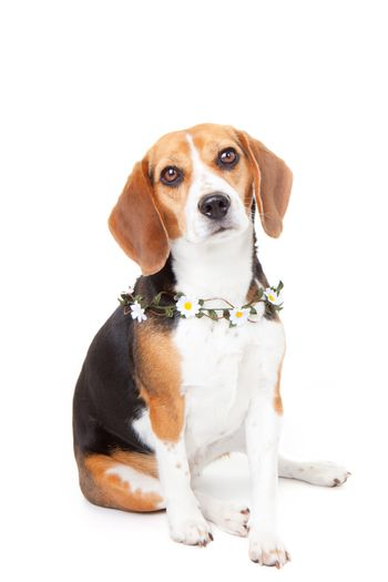 pet beagle dog with flowers.