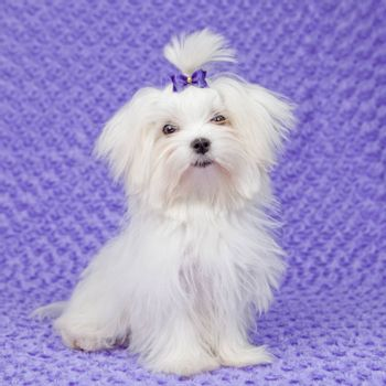maltese dog with bow ,pet care