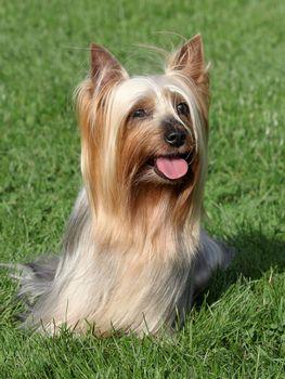 Portrait of Australian Silky Terrier in a summer garden
