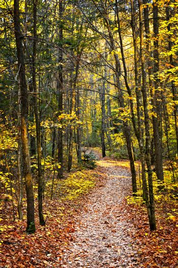 Fall forest path with fallen leaves covering the ground, Algonquin Park, Canada.