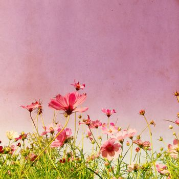 Vintage style effect with purple cosmos flower