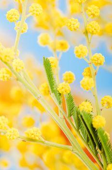 blossoming mimosa, a close up
