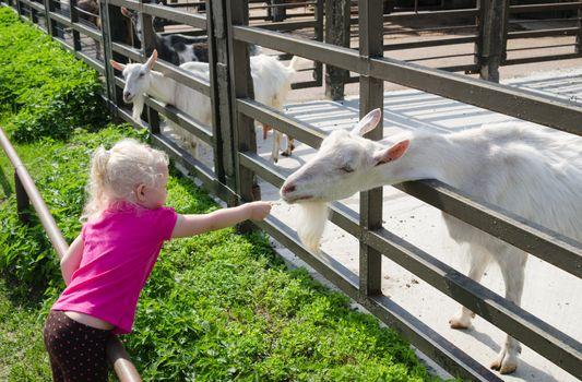 The little girl feeds goats on a farm