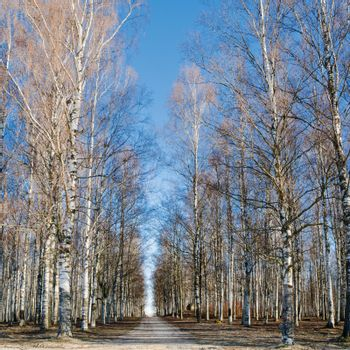 Avenue in park among birches