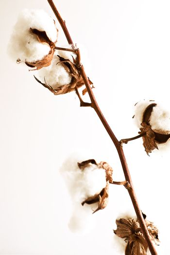 Stem of ripe cotton on white background.