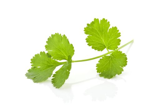 Coriander banch isolated.
