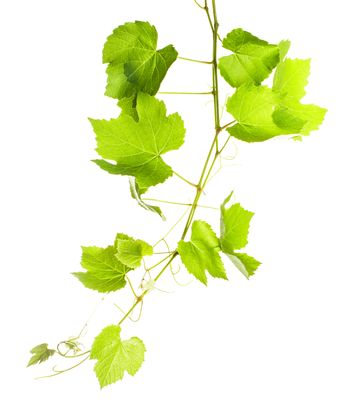 Grape leaves isolated on white, close up