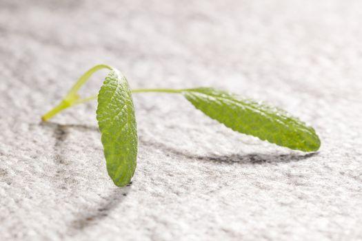 Sage leaves detail.