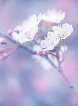 Blooming of Japanese sakura garden
