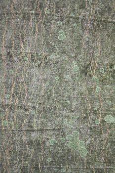 Corteccia di platano da usare come sfondo