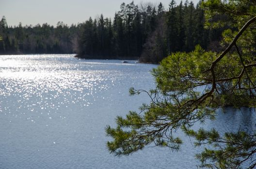 Pine tree branch a glittering lake