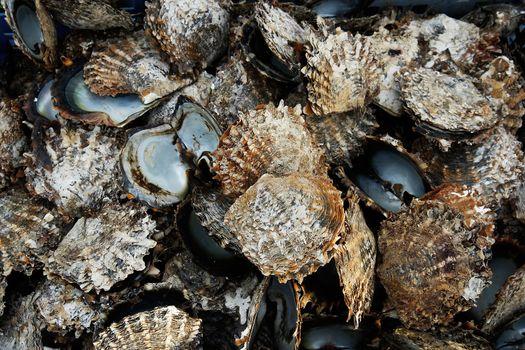 Pile of oyster shells at pearl farm, Vanua Levu island, Fiji