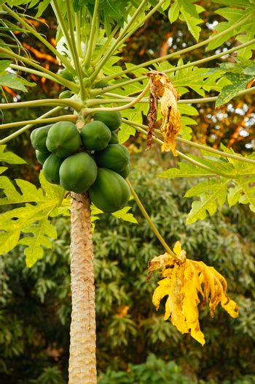 Papaya plant with green fruit