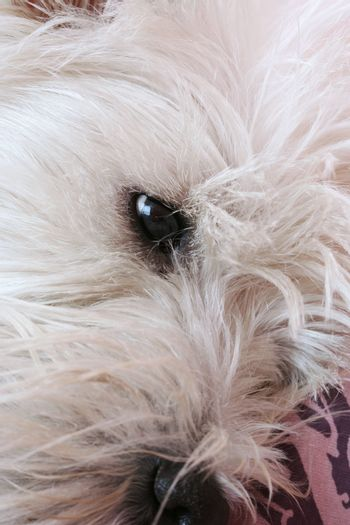 Close-up of westie dog face .