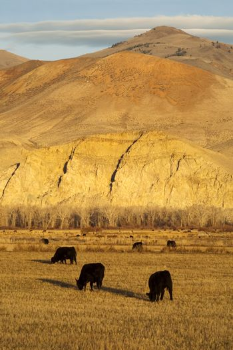 Cattle Grazing Ranch Livestock Farm Animals Western Mountain Landscape