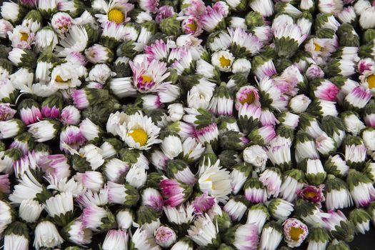 Background: sleeping closed daisies - bellis perennis