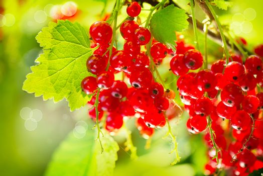 Red Currant. Ripe and Fresh Organic Redcurrant Berries