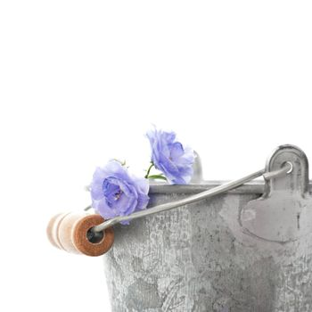 Blue flowers and a tin bucket isolated on white close up
