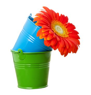 Vivid orange gerbera daisy flower in green and blue buckets isolated on white