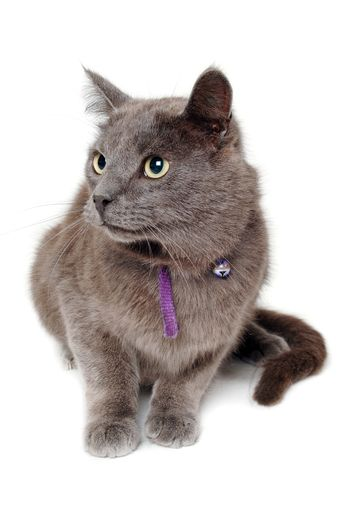 Gray cat on a isolated white background.