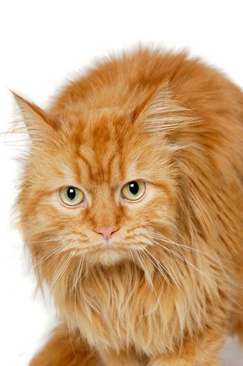 Red cat isolated on white background.