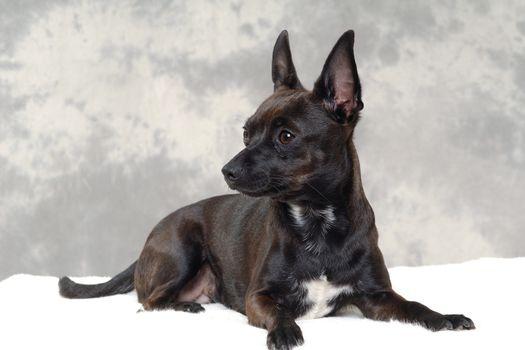 Black puppy dog
