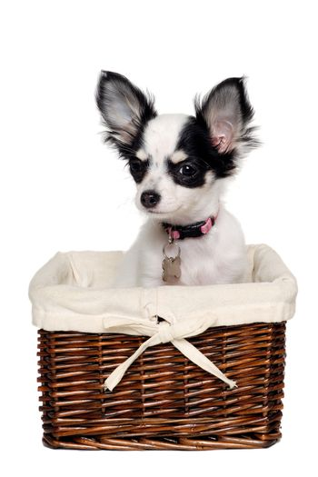 Chihuahua dog in a basket.