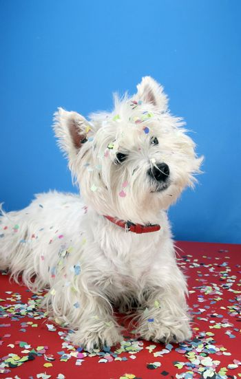 West highland white terrier with confetti.
