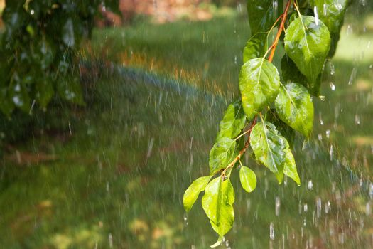 branch of the tree under the rain and rainbow