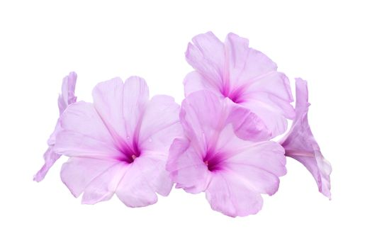 Pink morning glory flowers