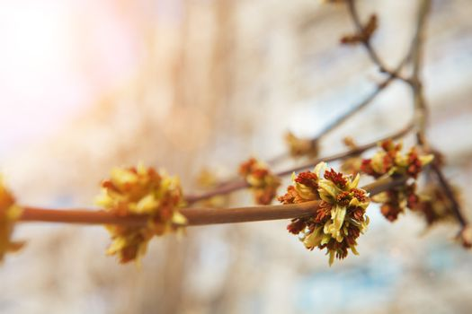 buds of thees in spring